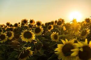 sunflower detoxification